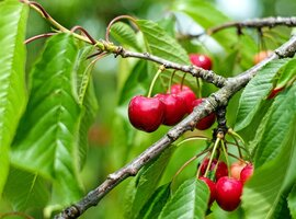 Cherry varieties & descriptions