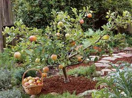 Fruit trees for small spaces
