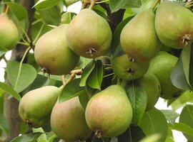 Pear trees from lyonshall nurseries Herefordshire area